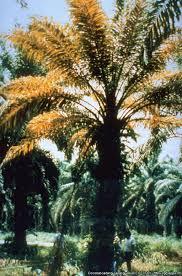 Viroid Diseases In Plants - coconut cadang cadang viroid cccvd0 photos eppo global database