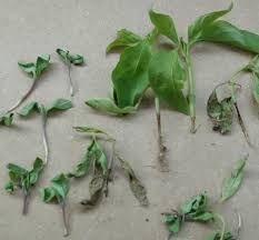 Types Of Plant Disease - plant diseases of chilli