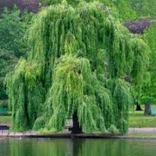 buy golden weeping willow tree from uk supplier of garden