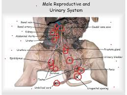 male digestive anatomy choice image learn human anatomy image