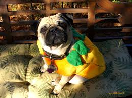 about pug page 39 of 70 cute pugs funny pugs pug stories