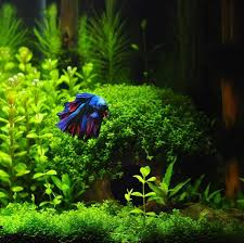 Aquascapes Of Ct 9 Best Veiltail Bettas Images On Pinterest Betta Fish Betta And