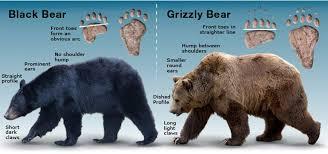 Bears Montana Hunting And Fishing - kootenai valley times