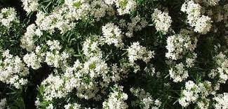 White Flowering Shrub - spring flowering shrubs andrew mikolajski u0027s blog