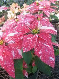 holiday plants holiday safety uconnladybug u0027s blog