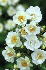 269 best climbing roses 2 images on pinterest climbing roses