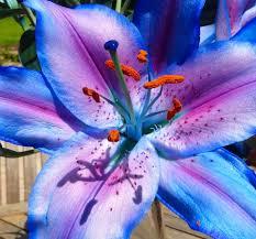 blue lilies blue par1 blipfoto