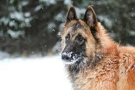 belgian sheepdog forum belgian shepherd tervueren puppy by renkau on deviantart