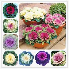 shop flowering ornamental cabbage seeds plant flowering kale