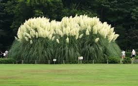 pampas ornamental grass for sale naples