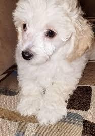 puppies for sale ckc