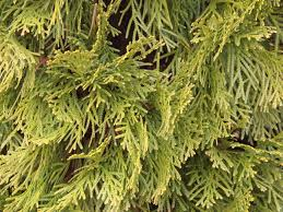 arborvitae landscape trees eugene or living concepts