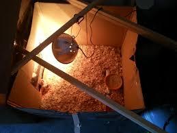 my cheap brooder backyard chickens