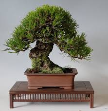 small trees with big trunks bonsai bark