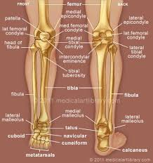 Picture Of Human Knee Muscles Human Leg And Foot Skeleton Image Lateral Meniscus Foot