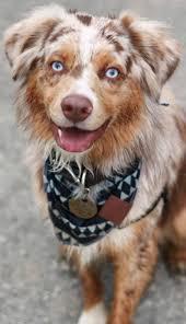 australian shepherd 7 wochen 22 best markiesje images on pinterest dog breeds doggies and dutch