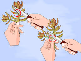 how to grow succulents in pots 7 steps with pictures wikihow