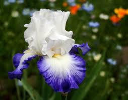 Iris by Iris Bing Images Floral Pinterest Iris White Iris And