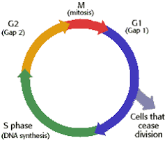 the cell cycle u0026 mitosis tutorial
