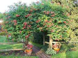 Non Invasive Climbing Plants - the all things plants most popular vines and climbers garden org