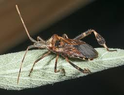 western conifer seed bug wikipedia
