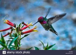 anna u0027s hummingbird calypte anna hummingbird bird flower stock