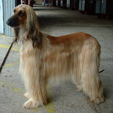 owning an afghan hound everything you need to know about the afghan hound on 1 page
