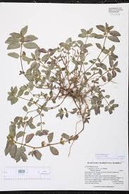 florida native plants list euphorbia hirta species page isb atlas of florida plants