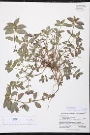 native south florida plants euphorbia hirta species page isb atlas of florida plants