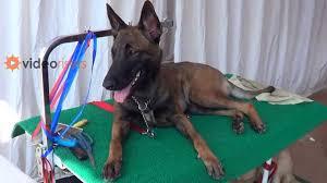 belgian sheepdog kennels attacking belgian shepherd dog before kennel club dog show 2013
