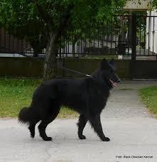 belgian sheepdog groenendael sale belgian shepherd groenendael puppies for sale edogshow english