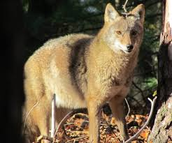 Can Coyotes See Red Light Fox Or Coyote How To Tell Them Apart Your Great Outdoors