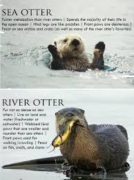 Sea Otter Meme - otter differences imgur