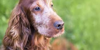 dog euthanasia when to consider euthanasia for your pet pooches at play