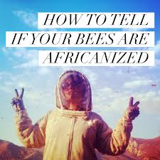 beekeeping like a how to tell if your bees are africanized