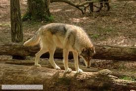 a glaring wolf crosses a fallen tree inside the wolf habitat at