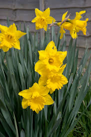 spring flowers yellow daffodils free stock photo public domain