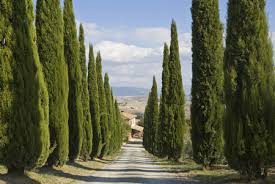 italian cypress evergreen trees for sale fast growing trees