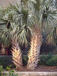 sylvester palm tree sale palm trees sales online palm sales