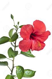 red color hibiscus flowers stock photo picture and royalty free