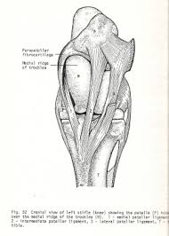 Lateral Patellar Ligament Bones Of The Hind Leg Part Two