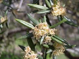 montana native plant society native plant gardens u2013 blackfoot native plants