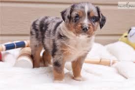 australian shepherd for sale california miniature australian shepherd puppy for sale near sacramento
