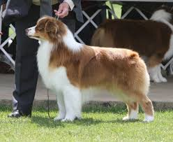 cat with australian shepherd bayshore kennel and farm rosemere fat cat at bayshore chubby
