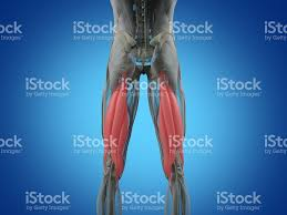 3d Knee Anatomy Hamstring Muscle Group Human Anatomy Muscle System 3d Illustration