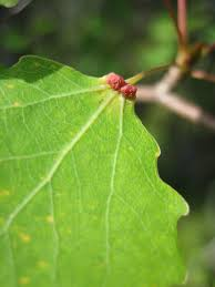 insects on aspen gall inducers