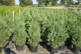 leyland cypress trees the planting tree