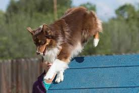australian shepherd agility agility licensee clubs asca