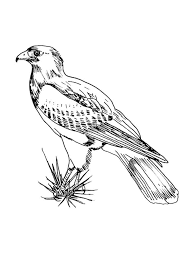 red tailed hawk coloring printable coloring pages ideas