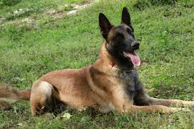 belgian sheepdog diet sold fully trained male belgian malinois attention dog